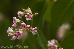 "Pink Dogbane • <a style=""font-size:0.8em;"" href=""http://www.flickr.com/photos/63501323@N07/6638703677/"" target=""_blank"">View on Flickr</a>"