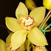 Cymbidium Baltic Gold 'Doug'
