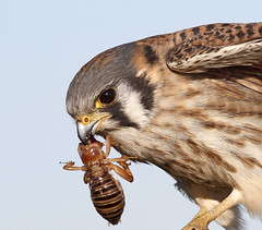 American Kestrel with Jerusalem Cricket [Explored best position #21 ] (bmse) Tags: canon chica eating jerusalem cricket eat american 7d bolsa 56 kestrel salah 400mm bmse baazizi