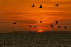 Golden flight (Wim K) Tags: sunset sea orange sun holland netherlands dutch birds reflections river photography golden evening coast geese photo waves afternoon bue magic stock nederland wave delta goose hour stockphoto stockphotography oosterschelde estuarium wpk wpk2