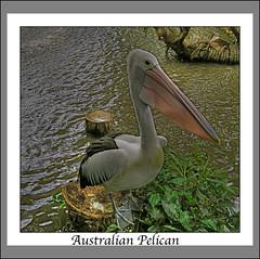Australian Pelican (Pelecanus conspicillatus) (Claire Heath :)) Tags: bird water break australianpelican claireheath