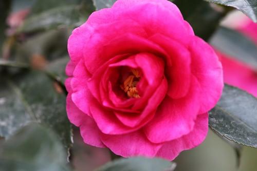 Camellia sasanqua cv. Fujikoana
