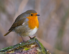 ROBIN at STRUMPSHAW FEN - NOT A CHRISTMAS CARD (jdoakey) Tags: