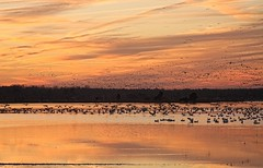 Snow Geese And A Sunset (JimbobEdsel) Tags: sunset nature canon geese delaware snowgeese canoneos40d
