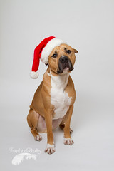 Next year's Christmas card. (Penelope Malby Photography) Tags: rescue dog mastiff canine bailey needahome mastiffcross staffycross tanandwhitedog epsomcaninerescue