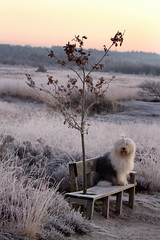 goodmorning ! (dewollewei) Tags: old english sheepdog bobtail oes oldenglishsheepdog bobotail