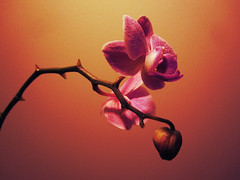 18/366 (Little_366) Tags: summer flower spring nikon blossom winner challenge mega d90 agcg agcgmegachallengewinner agcgcrmedelacrmewinner
