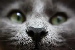 (a. fagan) Tags: amanda macro cute green digital cat nose grey virginia eyes focus kitten gray kitty sharp whiskers kai va williamsburg canoneos boop 757 fagan hamptonroads rebelxs amandafagan
