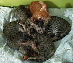 KITTEN (Bashir Osman) Tags: cat kitten animal pets bashirosman 5 sleepingtogether gettyimagespakistanq12012 chat katze γάτα gatto cattus кошка gato kedi પાકિસ્તાન pakistan باكستان পাকিস্তান pakistāna 파키스탄 パキスタン 巴基斯坦 pakistanas پاکستان paquistão пакистан pakistán karachi كراتشي καράτσι કરાચી карачи کراچی कराची travelpakistan travelkarachi aboutpakistan aboutkarachi gettyimagesmiddleeast sindh