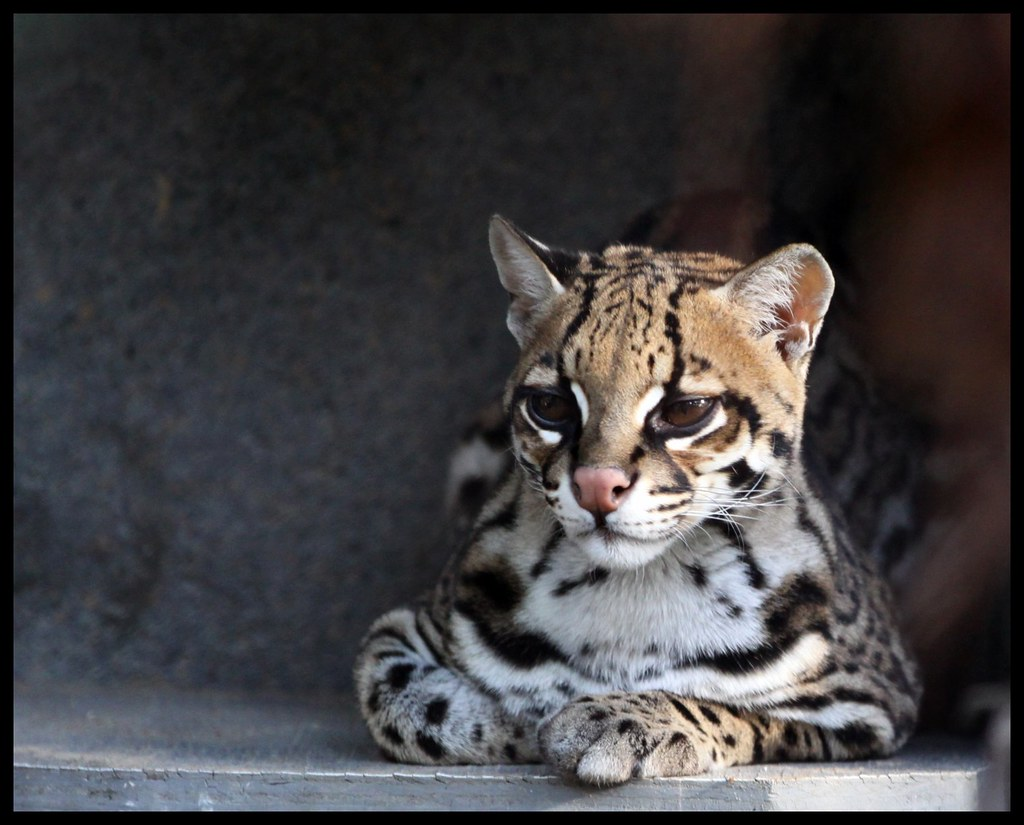 The World's Best Photos of ocelot and texas - Flickr Hive Mind