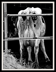15 (@mayen68) Tags: white black ass cow zwart wit koe kont wbst