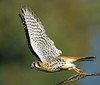KESTREL (sea25bill) Tags: california park morning winter sky sun bird falcon americankestrel