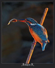 Fishing Prize (Amrou A) Tags: al fishing central kingfisher saudi arabia prize common riyadh vally 14tc nikkor300mm hayer kharj nikond7000 ringexcellence blinkagain amroua
