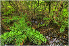 Giant Leather Fern (Kevin B Photo) Tags: park morning autumn trees wild plants usa plant color tree green fall nature beautiful beauty horizontal closeup america river landscape outdoors photography colorful day alone exterior unitedstates natural state florida native wildlife south scenic peaceful calm southern wetlands vegetation manmade boardwalk daytime fl marsh southeast ferns rare wetland serenitynow kevinbarry baldcypress ftlauderdaleflorida wowiekazowie secretwoodsnaturecenter