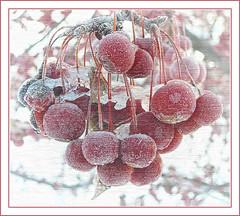 Frozen Glory (OldGuy2008) Tags: winter snow cold ice dawn frozen berries legacy motat doubledragon hiddentreasure flickraward heartawards eyejewels tatot thelightpainterssociety legacygallery davincimemories exoticimage admintalkinternational witnesstheemergingspirit empireofdreamsandfairytextures magictrollartistry