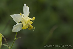 "Yellow Columbine • <a style=""font-size:0.8em;"" href=""http://www.flickr.com/photos/63501323@N07/6746655775/"" target=""_blank"">View on Flickr</a>"