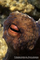 Octopus eye - 5536 (Francesco Pacienza - Getty Images Contributor) Tags: macro animals closeup eyes octopus occhio d60 d90 nikonunderwatermacro subacqueascubaseamarefrancescopacienza
