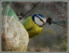Blue tit (Mystycat =^..^=) Tags: bird tit ngc bluetit bleue msange specanimal fantasticnature natureselegantshots photoshopcs5 blinkagain