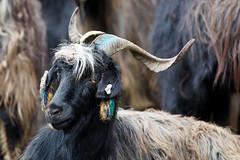 Sheep fashionista (Michał Olszewski) Tags: nepal mammal asia horns goat land himalayas acap gandaki kaski annapurnaconservationarea annapurnaconservationareaproject