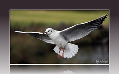 "Gull Hover (annjbee ""Birdie Lover"") Tags: black nature birds wildlife derbyshire gulls headed seabirds"