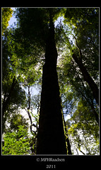 Rainforest glory (mraadsen) Tags: trees sunlight forest canon eos rainforest flickr australia victoria greatoceanroad australie regenwoud 550d 1585mm mraadsen otwayflyer