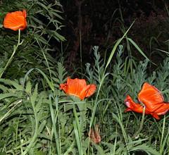 Poppies (sandy richard) Tags: flowers usa gardens oregon portland unitedstates sandyrichard sandrarichard