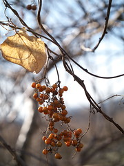 (myu-myu) Tags: winter nature field japan fruit panasonic  paederiascandens  skunkvine dmcg3