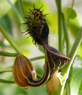 Aristolochia spec. 'Terra Nova do Norte'