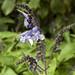 Flora dopo Ocros (prov. Ayacucho) (5)