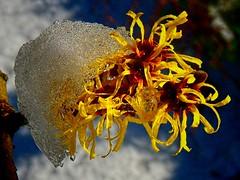 Witch Hazel in Ice (algo) Tags: winter sunlight snow ice yellow interestingness topf50 topv555 topv333 bravo explore fp topf100 frontpage hamamelis witchhazel 100f 9028 50f explore68