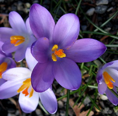 Wid-Winter Elegant (Puzzler4879) Tags: brooklyn purple ngc crocus bbg brooklynbotanicgarden pointshoot botanicgardens canonpowershot purplecrocus canondigital canonaseries canonphotography wonderfulphotos perfectpetals canonpointshoot flickraward a580 peaceawards canona580 canonpowershota580 powershota580 amazingdetails universeofnature mygearandme mygearandmepremium naturespotofgoldlevel1 level1photographyforrecreation level3photographyforrecreation level4photographyforrecreation level2photographyforrecreation prestigenaturecompetitionsrus bbgwinter