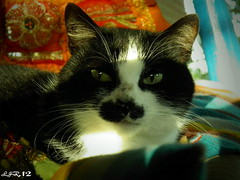 Misha (Josue ( joscello )) Tags: portrait naturaleza nature fauna cat photo casa flickr photographer retrato venezuela gatos gata felino explored iphotography animalesdomesticos