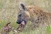 The Undertaker! (MAC's Wild Pixels) Tags: kenya autofocus spottedhyena yabbadabbadoo lakenakurunationalpark goldwildlife naturesgreenpeace blinkagain allnaturesparadise allofnatureswildlifelevel1 allofnatureswildlifelevel2 allofnatureswildlifelevel3 allofnatureswildlifelevel4 allofnatureswildlifelevel5 allofnatureswildlifelevel8 allofnatureswildlifelevel6 allofnatureswildlifelevel7 allofnatureswildlifelevel9 macswildpixels