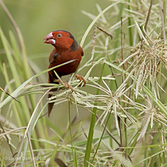 Crimson Finch (Louise Denton) Tags: red crimson grass nt wildlife australia darwin finch foggdam crimsonfinch neochmiaphaeton