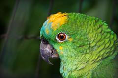 Angry Bird (Edi Eco) Tags: brazil color green bird nature colors animal brasil fauna canon cores grande big eyes sad natureza parrot olhos triste ave jail 7d rs riograndedosul passaro papagaio gaiola erechim barãodecotegipe
