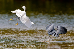 Chasing off the Competition (ChicagoBob46) Tags: bird heron birds sanibel sanibelisland egret snowyegret littleblueheron naturesgallery jndingdarlingnwr goldwildlife 100commentgroup thenaturesgreenpeace mothernaturesgreenearth allnaturesparadise amazingwildlifephotography