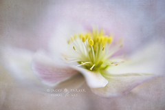Paintery Spring (Jacky Parker Floral Art) Tags: christmas flower macro art nature floral rose closeup lensbaby garden one spring flora creative single bloom hellebore softfocus textured helleborus lenten flypaper floralessence