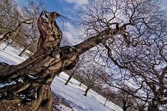 6/52 Crazy Alien Tree (Soma Pics) Tags: park winter snow tree london canon blackheath greenwich lewisham tokina f28 60d 1116mm