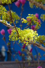 Spring (Arianthi-) Tags: pink blue trees yellow spring blossoms