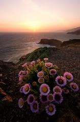 Bouquet (danielpivnick) Tags: ocean sanfrancisco california flowers sunset cliff coast pacificocean bayarea bouquet marinheadlands bloomingflowers nikond800