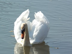 One of Fifty (annrushworth) Tags: river swan