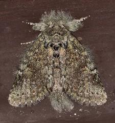 Moth_053016c (Eric C. Reuter) Tags: ny nature wildlife may insects moths hancock catskills 2016 somersetlake mothing 053016