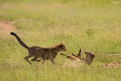 Cheetah vs Jackal (V I J U) Tags: africa travel nature animals jackal kenya wildlife attack safari ke chase cheetah mammals hunt masaimara 2016 narok canon5dmarkiii ef500mmf4lisii vijujose