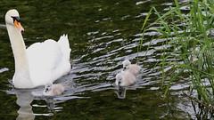 _X5C7929 (carlo612001) Tags: swan