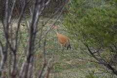 Sandhill (LU Trapper John) Tags: nature field birds sandhill sony70400g sonydslta77