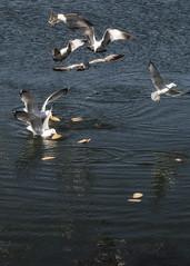 Our Daily Bread ... (richpoj50) Tags: seagulls water birds portland bread flying feeding maine portlandme scavengers backcove