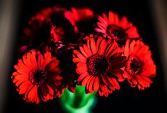F L O W E R (wildbam25) Tags: light red flower rot dark lens fun 50mm licht nice darkness bokeh fast speedmaster schnheit f095 zhongyi objektiv schn fastlens mitakon nicepicture bokehmaster nicepix manualfokus