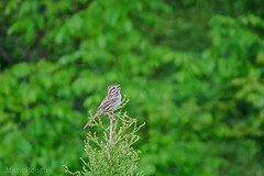 Song Sparrow (LastNitesFun) Tags: bird virginia sparrow songsparrow lyndhurstva