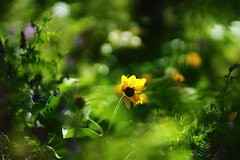You are the only one (Angelina.Maria) Tags: flowers green nature yellow oregon canon outdoors bokeh wildflowers columbiagorge columbiarivergorge rowena