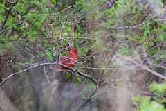 cardinal (theharv58) Tags: birds cardinal torontocanada torontoparks canonef400mmf56lusm canon60d canonef400mmf56lens canoneos60d birdingintoronto sirsamuelsmithparktoronto cardinalsingsasong birdswaterfoulandnature enjoyingthewildlifeintorontoatcolsamuelsmithpark